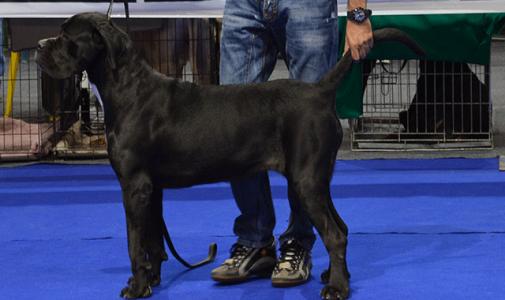 Ο σκύλος μας Cane Corso: Championesa Custodi Nos