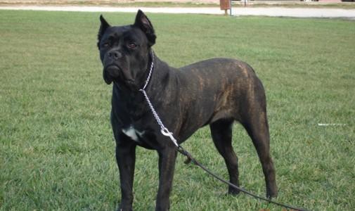 Ο σκύλος μας Cane Corso: Lucrezia de finibus Terrae
